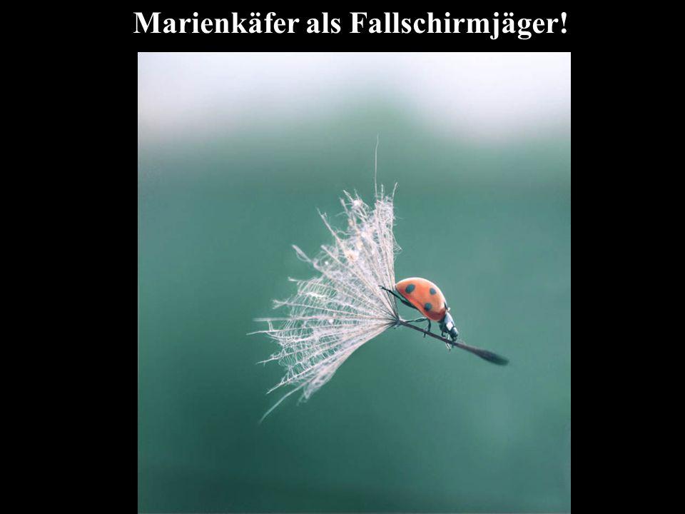 Marienkäfer als Fallschirmjäger!