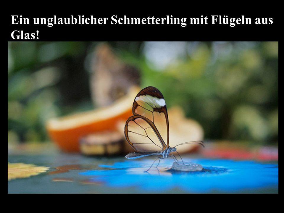 Ein unglaublicher Schmetterling mit Flügeln aus Glas!
