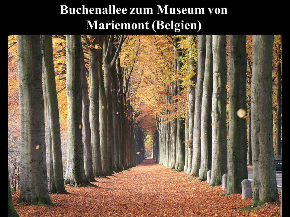 Buchenallee zum Museum von Mariemont (Belgien)