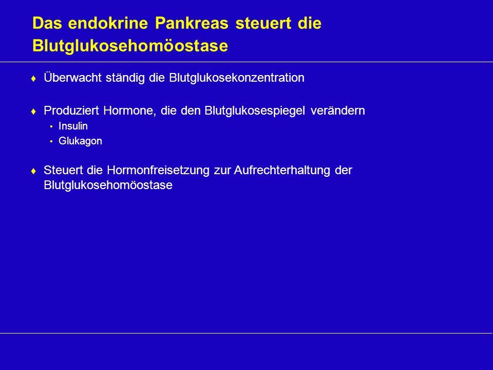 Das endokrine Pankreas steuert die Blutglukosehomöostase