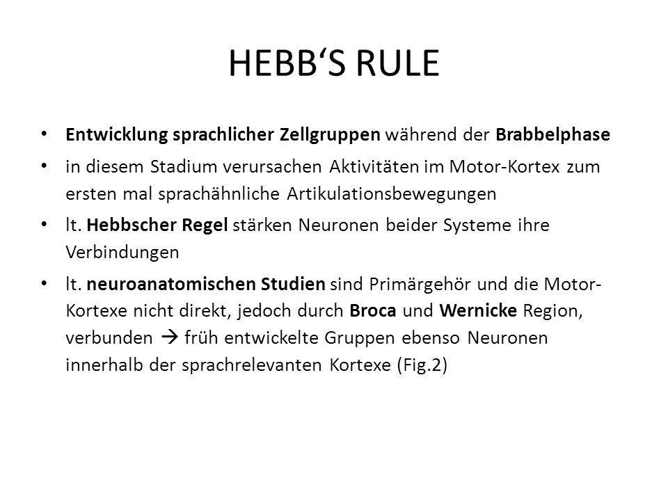HEBB'S RULE Entwicklung sprachlicher Zellgruppen während der Brabbelphase.