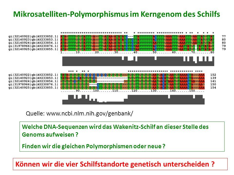 Mikrosatelliten-Polymorphismus im Kerngenom des Schilfs