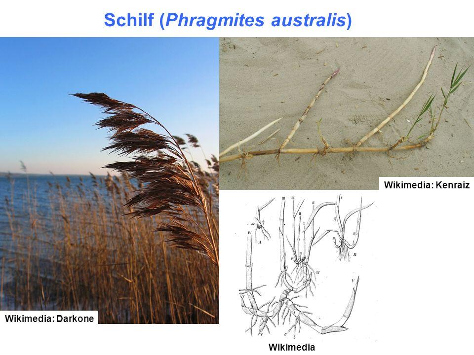 Schilf (Phragmites australis)