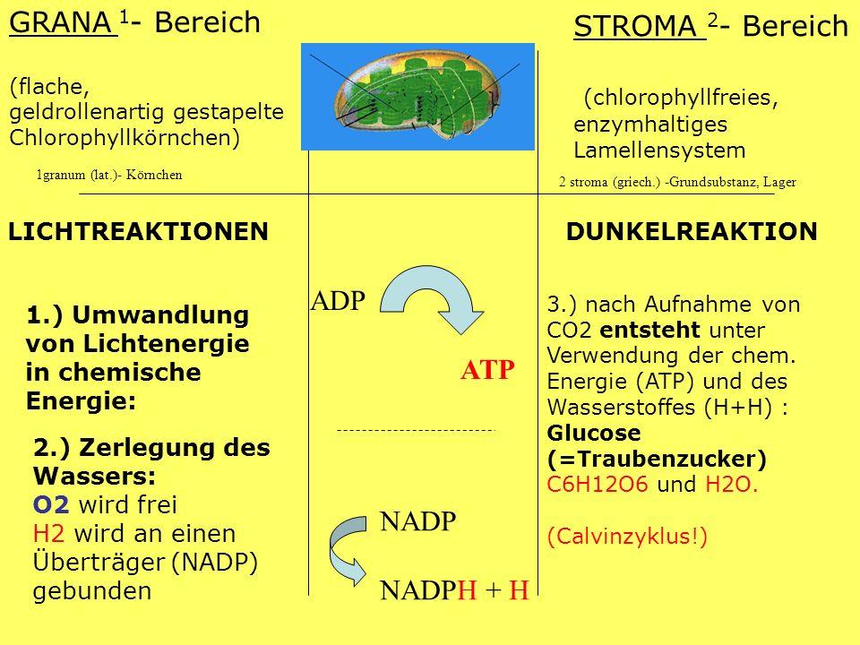 (chlorophyllfreies, enzymhaltiges Lamellensystem