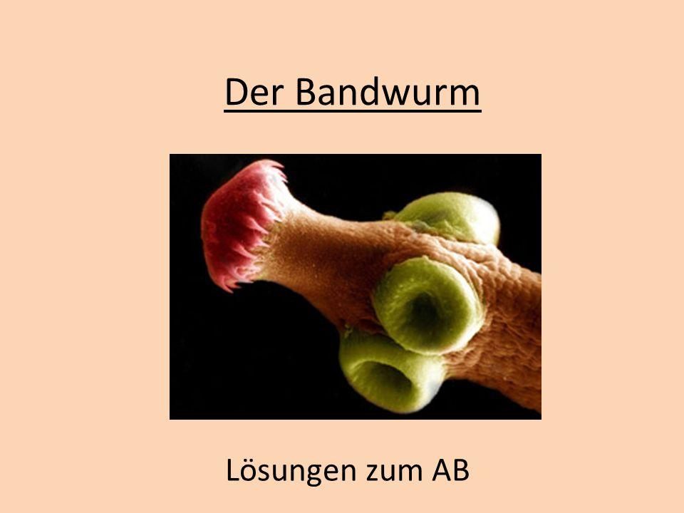 Der Bandwurm Lösungen zum AB