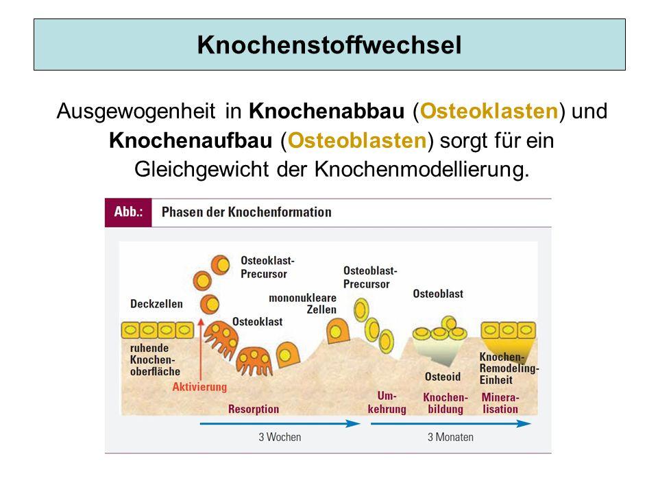 Knochenstoffwechsel Ausgewogenheit in Knochenabbau (Osteoklasten) und