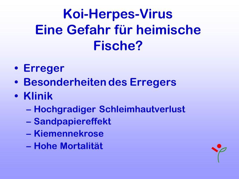 Koi-Herpes-Virus Eine Gefahr für heimische Fische