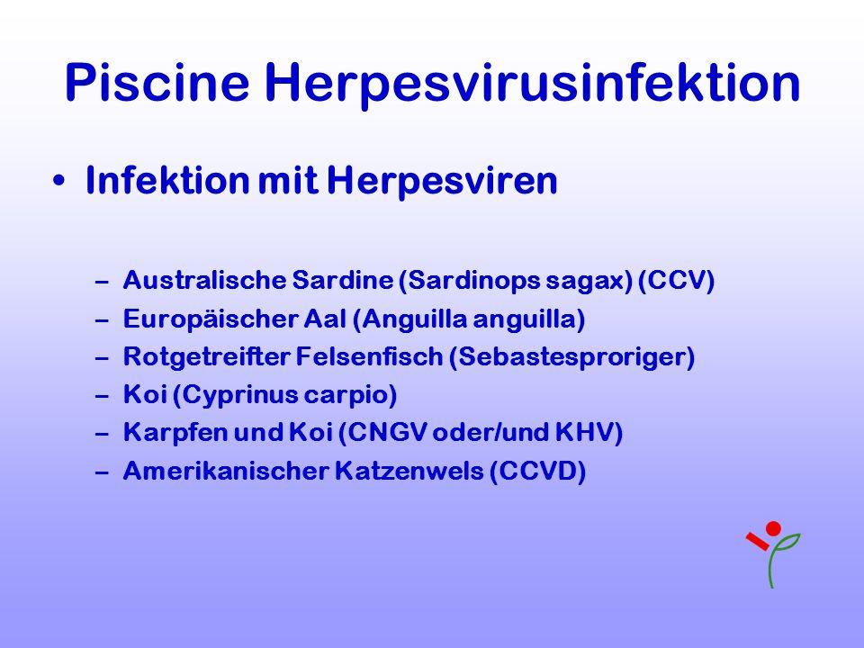 Piscine Herpesvirusinfektion