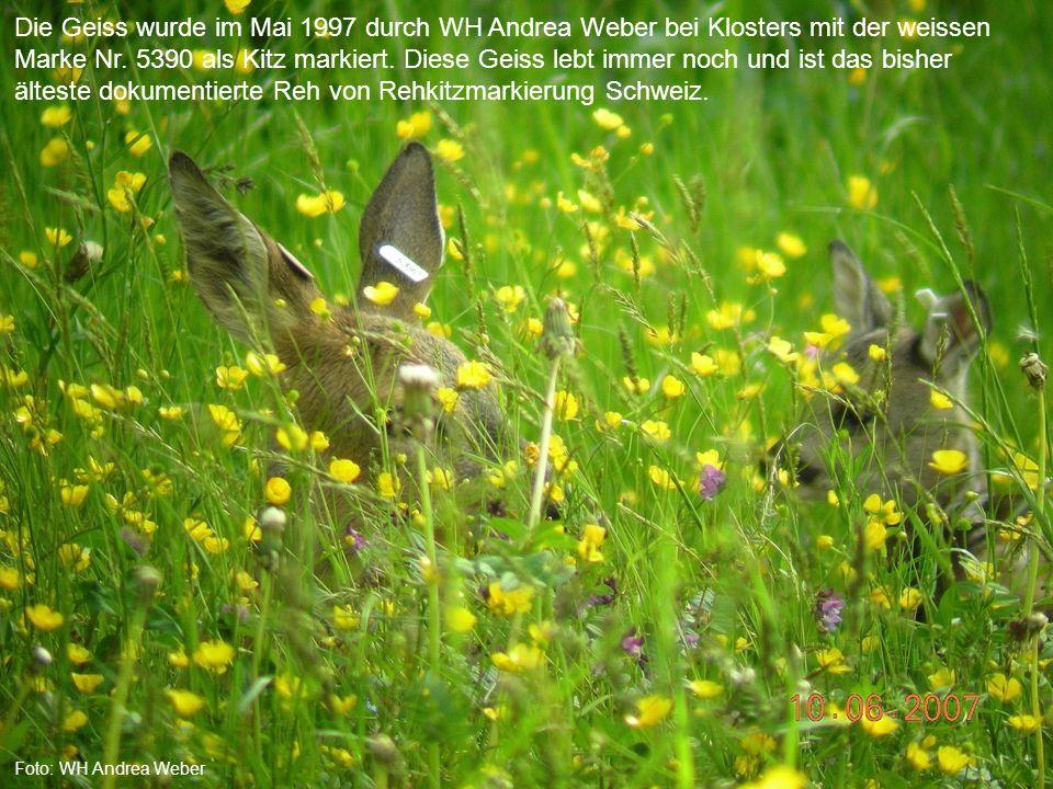 Die Geiss wurde im Mai 1997 durch WH Andrea Weber bei Klosters mit der weissen Marke Nr. 5390 als Kitz markiert. Diese Geiss lebt immer noch und ist das bisher älteste dokumentierte Reh von Rehkitzmarkierung Schweiz.
