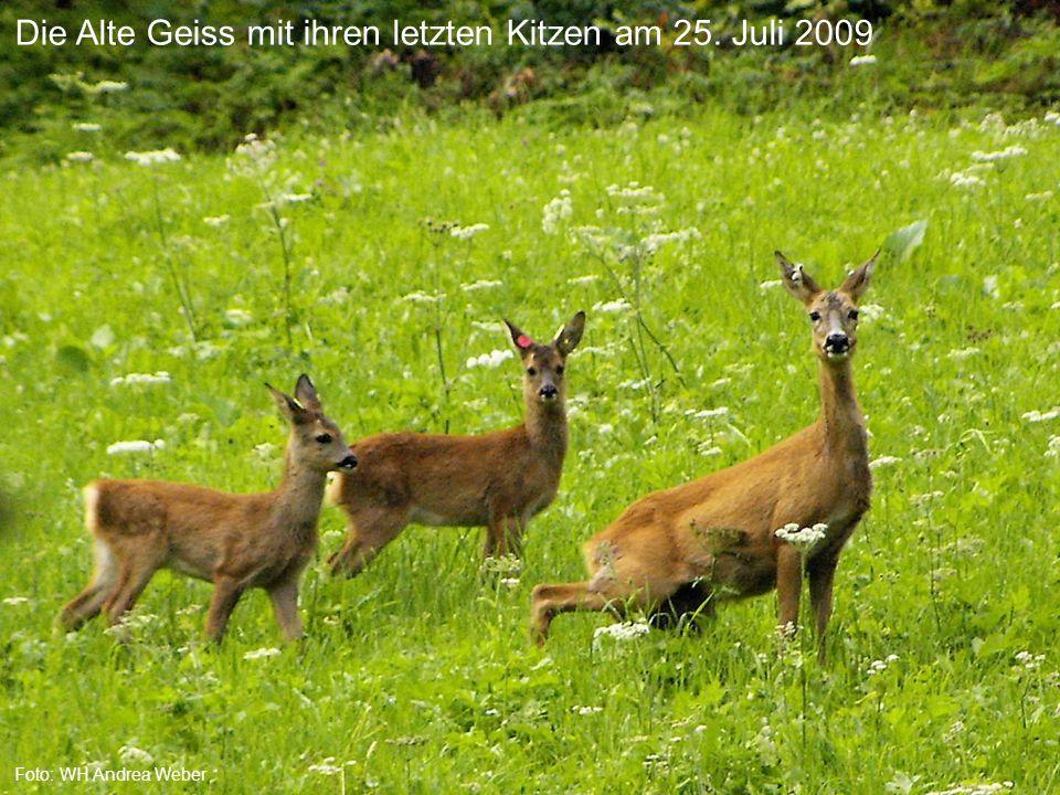 Die Alte Geiss mit ihren letzten Kitzen am 25. Juli 2009