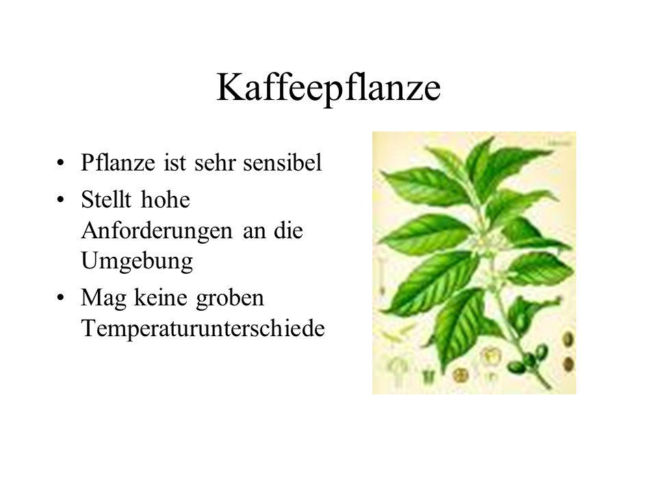 Kaffeepflanze Pflanze ist sehr sensibel