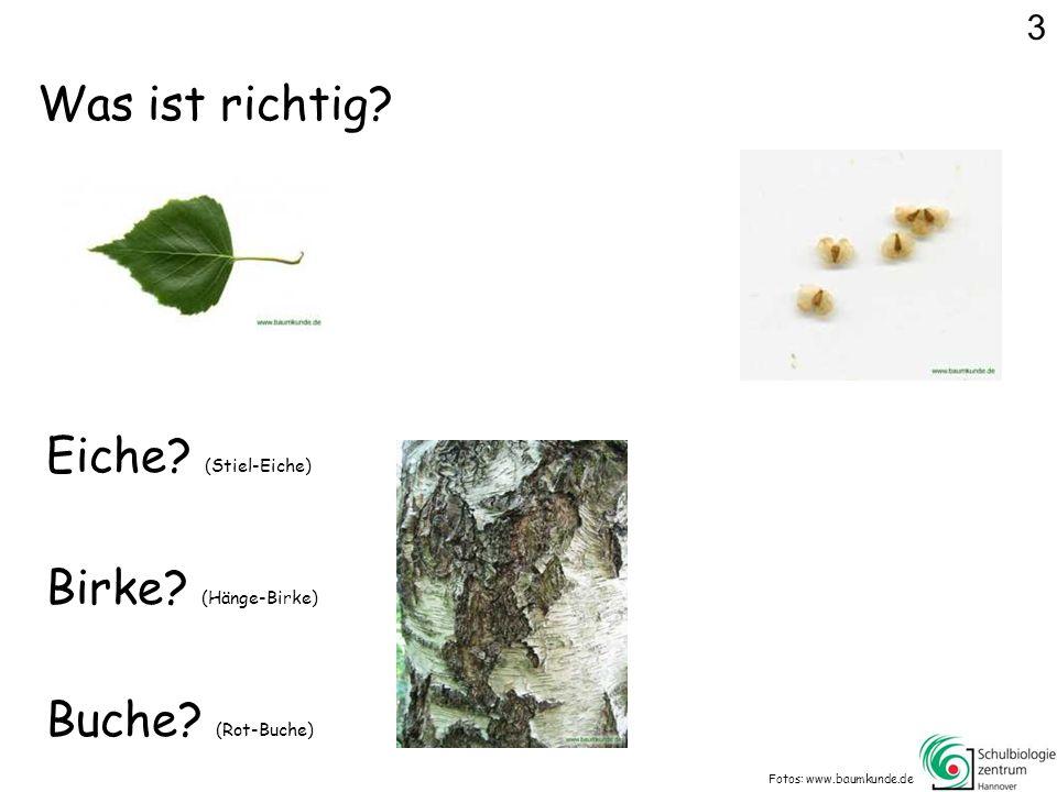 Was ist richtig Eiche (Stiel-Eiche) Birke (Hänge-Birke)