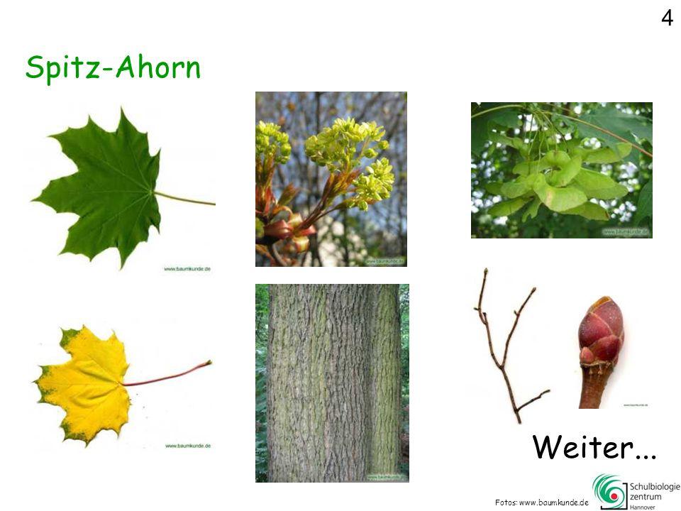 4 Spitz-Ahorn Weiter... Fotos: www.baumkunde.de