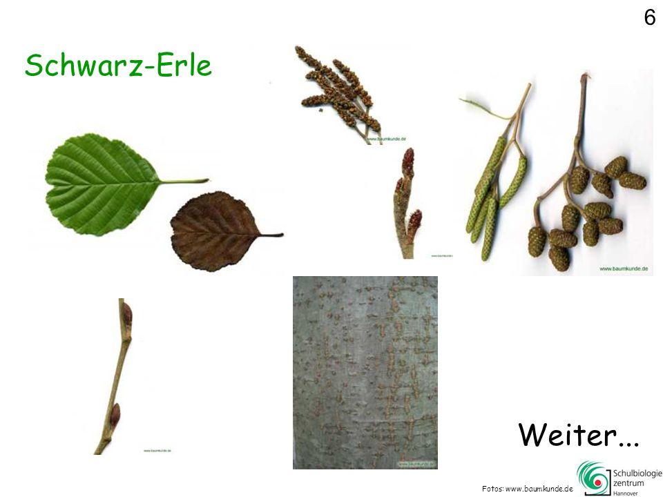 6 Schwarz-Erle Weiter... Fotos: www.baumkunde.de