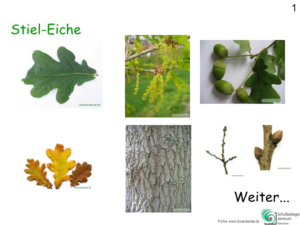 1 Stiel-Eiche Weiter... Fotos: www.baumkunde.de