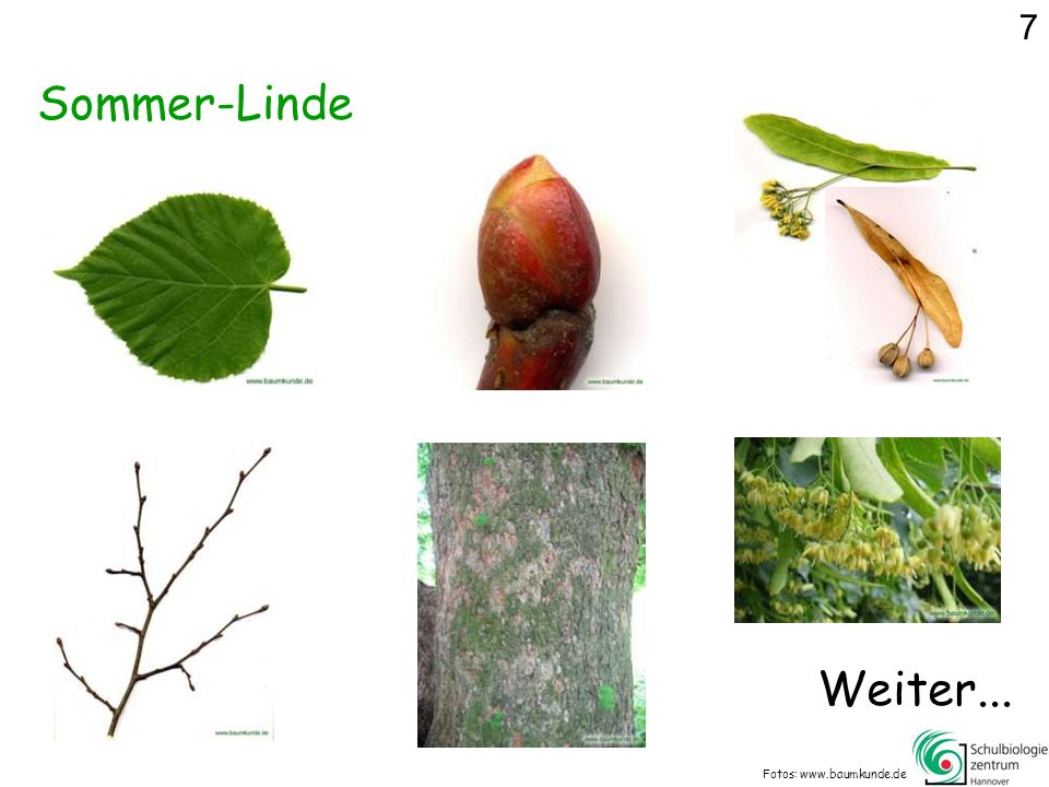 7 Sommer-Linde Weiter... Fotos: www.baumkunde.de