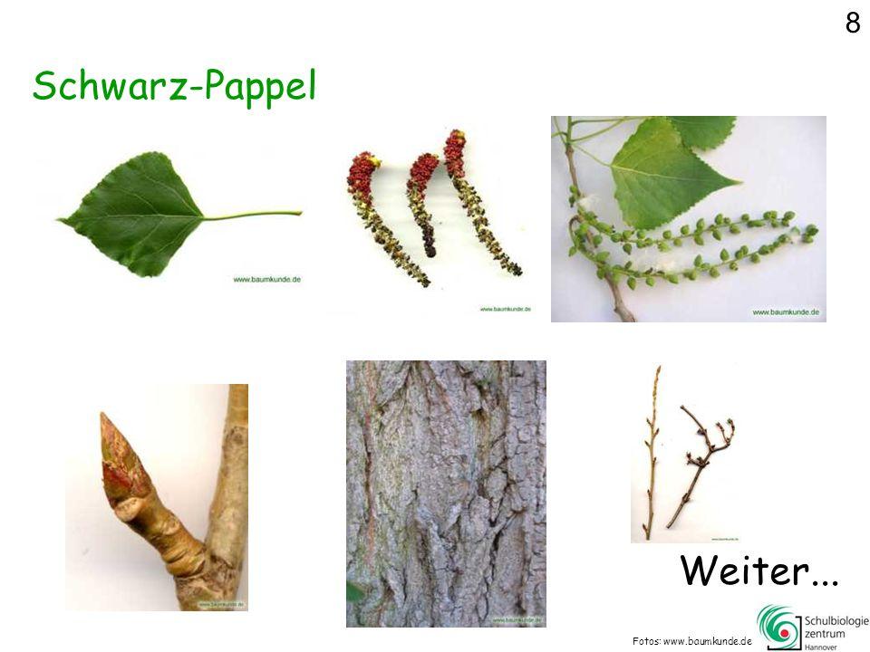 8 Schwarz-Pappel Weiter... Fotos: www.baumkunde.de