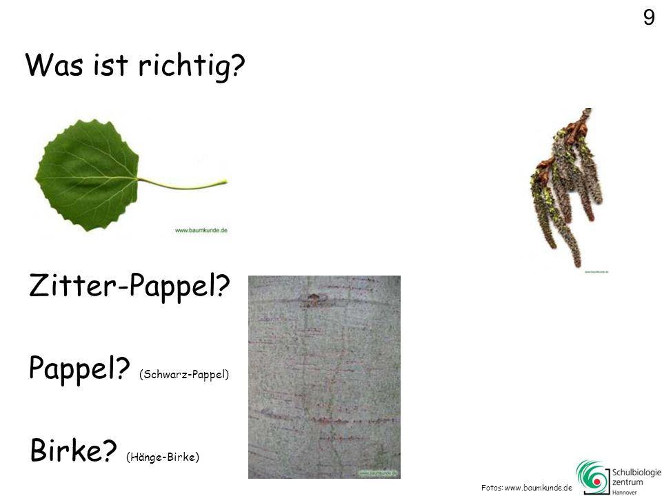 Pappel (Schwarz-Pappel)