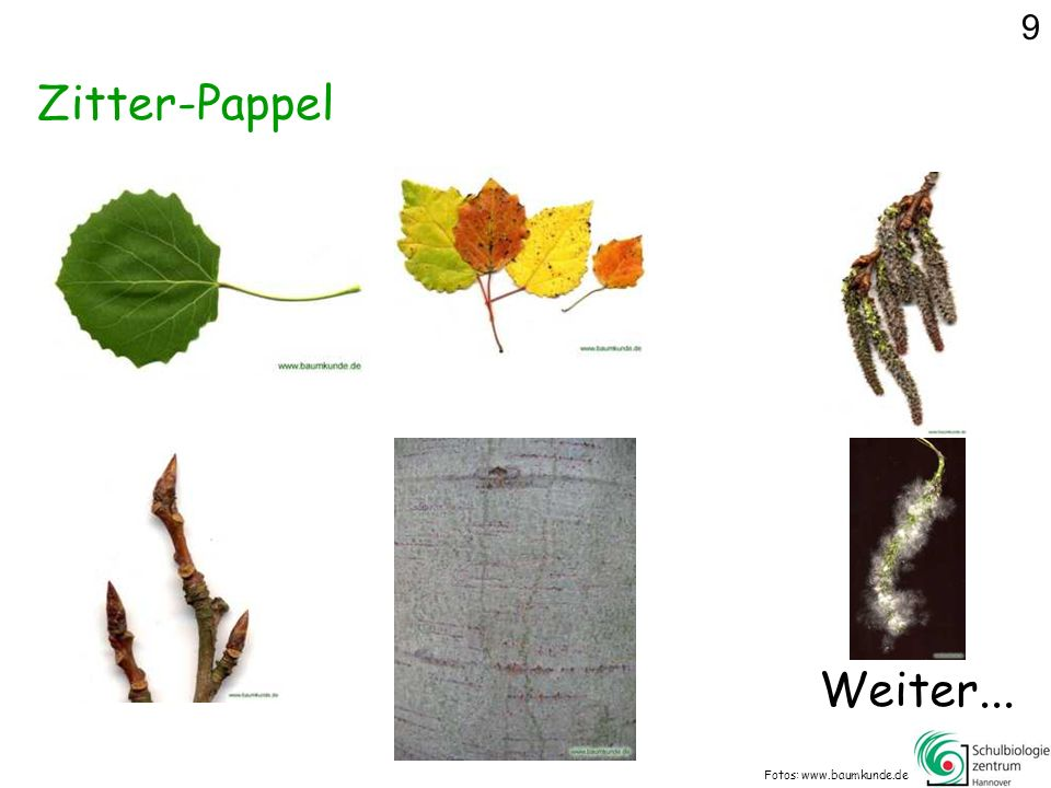 9 Zitter-Pappel Weiter... Fotos: www.baumkunde.de