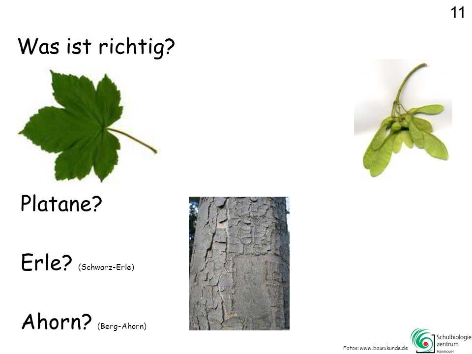 Was ist richtig Platane Erle (Schwarz-Erle) Ahorn (Berg-Ahorn) 11
