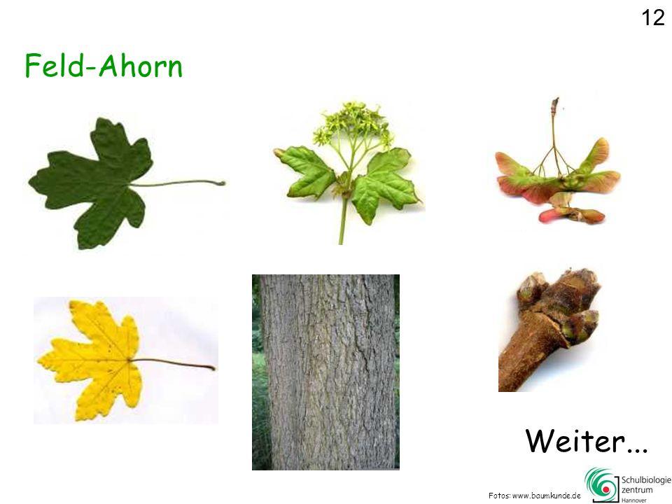 12 Feld-Ahorn Weiter... Fotos: www.baumkunde.de