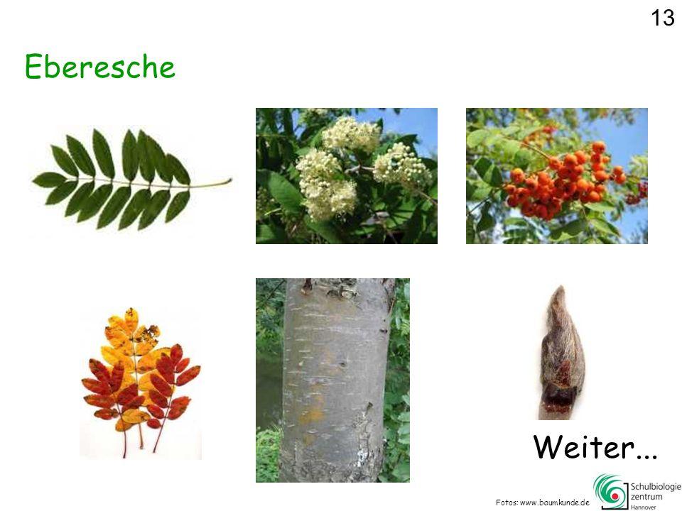 13 Eberesche Weiter... Fotos: www.baumkunde.de