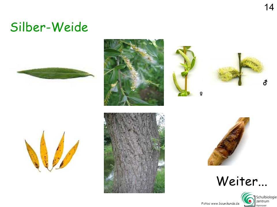 14 Silber-Weide Weiter... Fotos: www.baumkunde.de