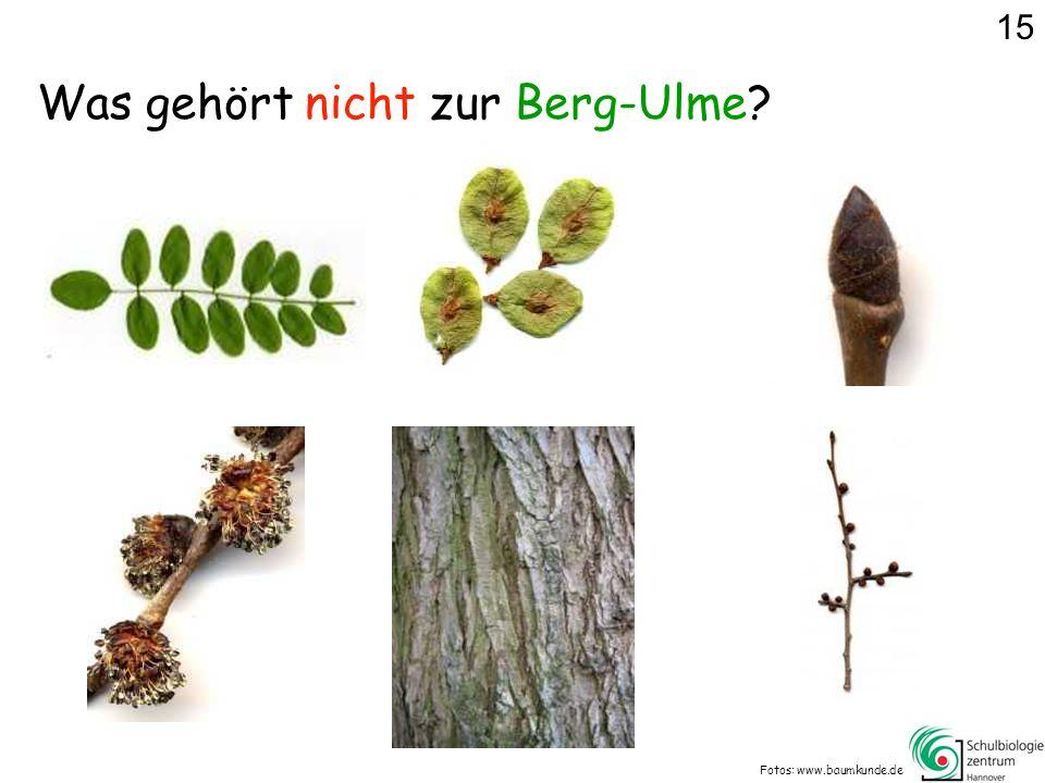 Was gehört nicht zur Berg-Ulme