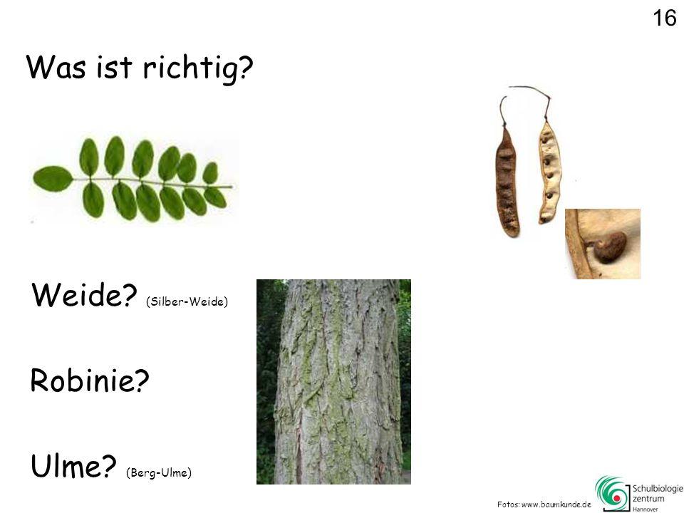 Was ist richtig Weide (Silber-Weide) Robinie Ulme (Berg-Ulme) 16