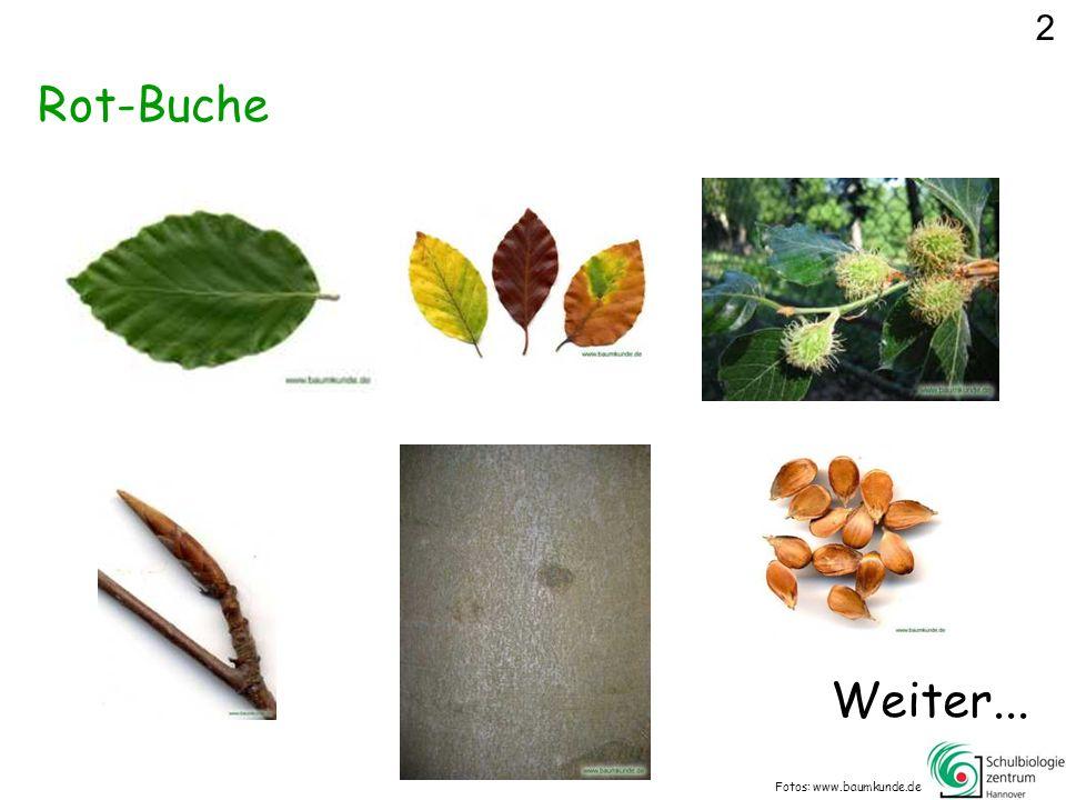 2 Rot-Buche Weiter... Fotos: www.baumkunde.de