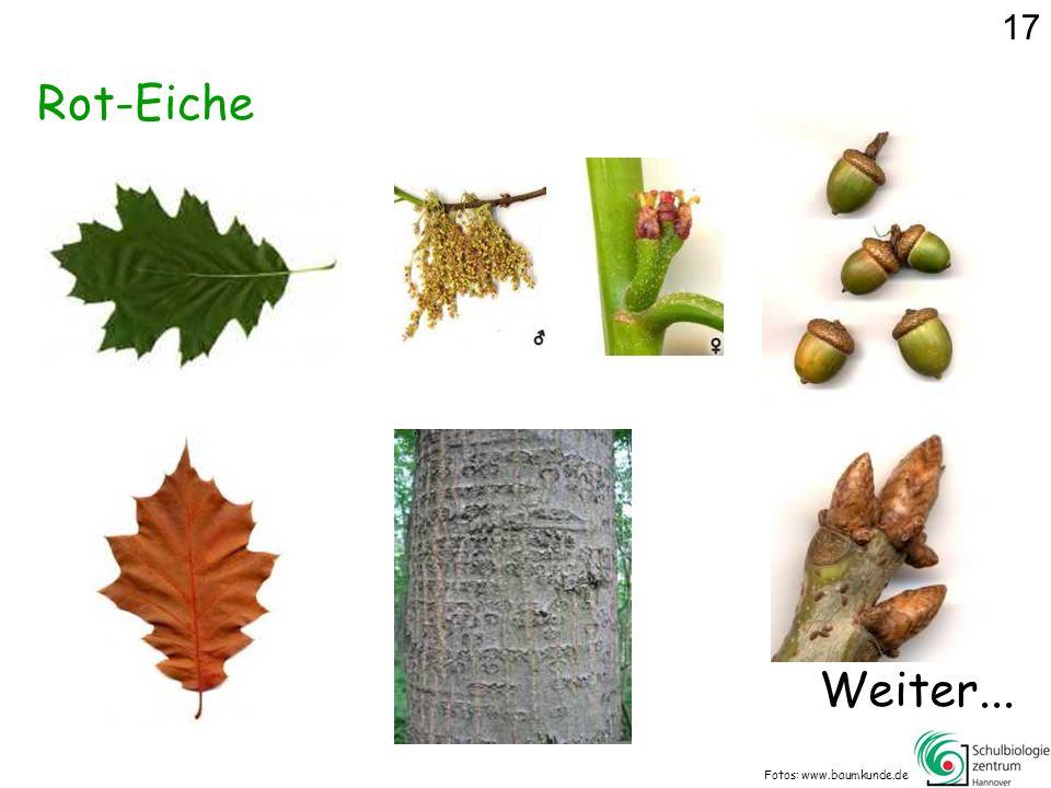 17 Rot-Eiche Weiter... Fotos: www.baumkunde.de