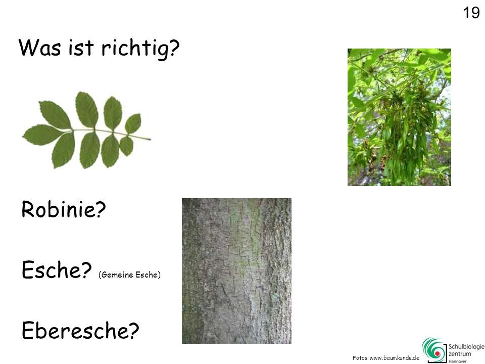 Was ist richtig Robinie Esche (Gemeine Esche) Eberesche 19