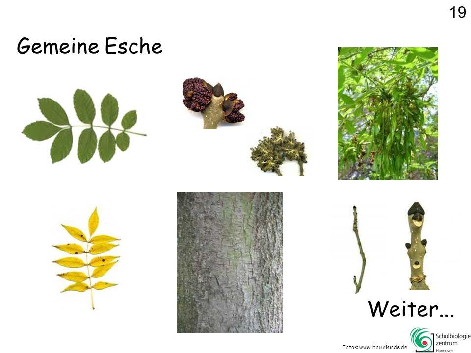 19 Gemeine Esche Weiter... Fotos: www.baumkunde.de