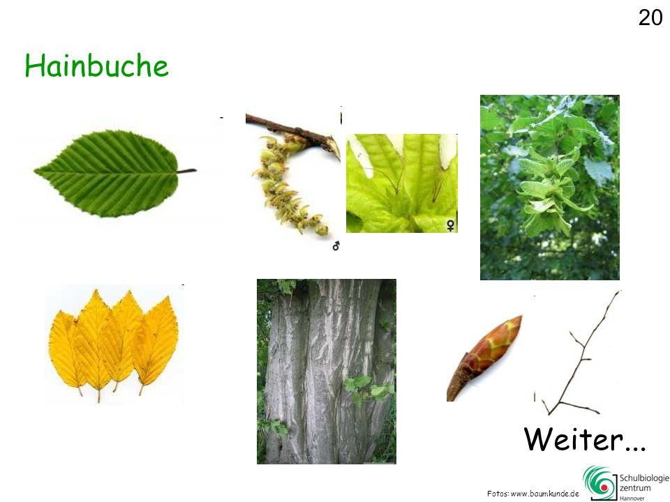 20 Hainbuche Weiter... Fotos: www.baumkunde.de