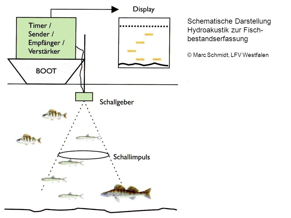 Schematische Darstellung Hydroakustik zur Fisch- bestandserfassung