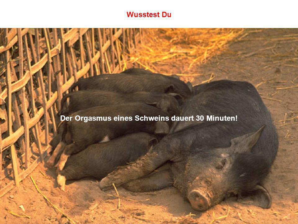 Der Orgasmus eines Schweins dauert 30 Minuten!