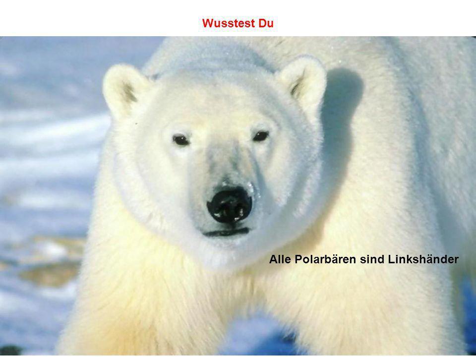 Wusstest Du Alle Polarbären sind Linkshänder
