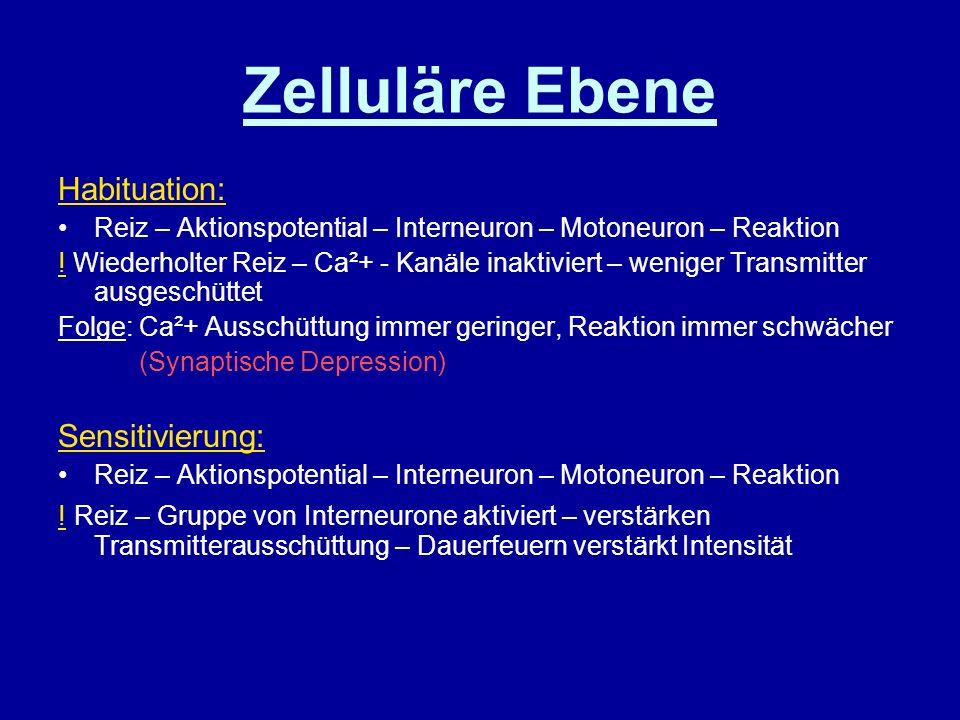 Zelluläre Ebene Habituation: Sensitivierung: