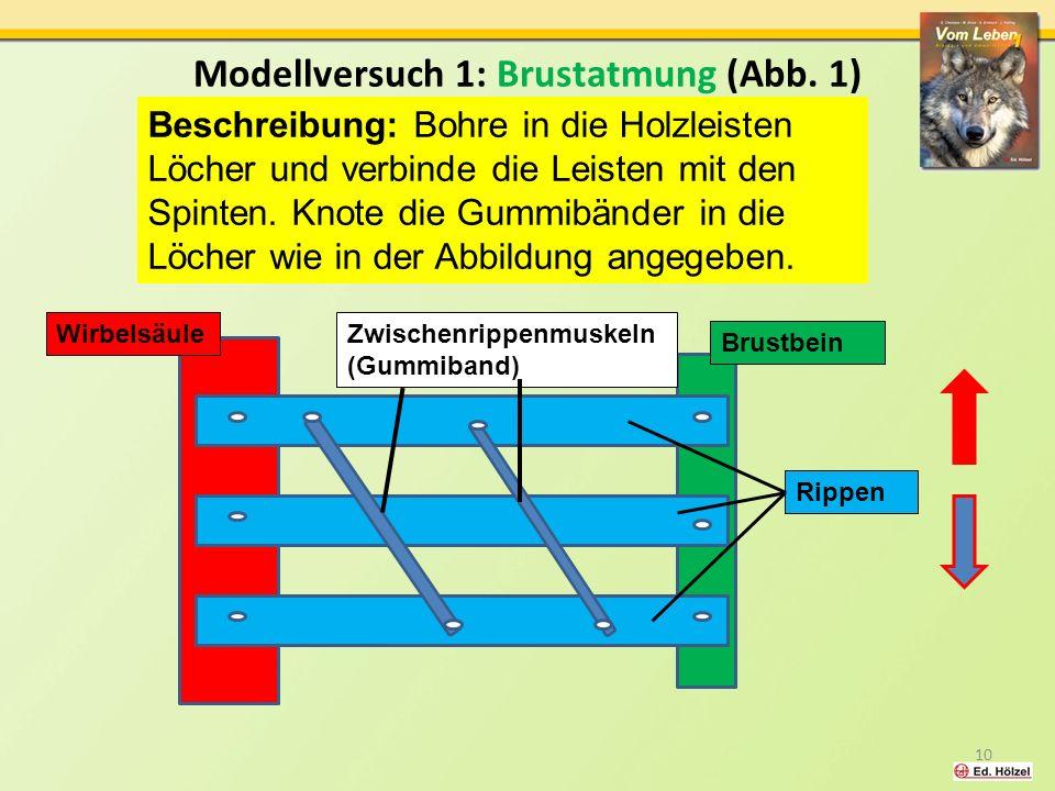 Modellversuch 1: Brustatmung (Abb. 1)