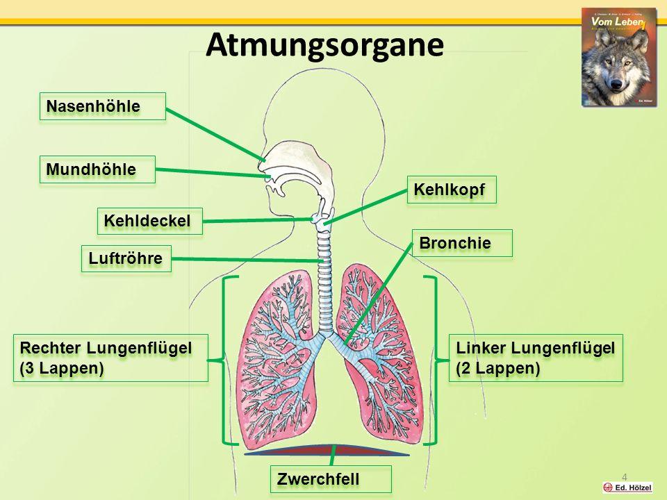 Atmungsorgane Nasenhöhle Mundhöhle Kehlkopf Kehldeckel Bronchie