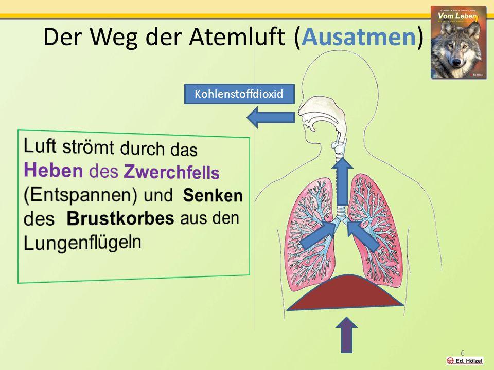 Der Weg der Atemluft (Ausatmen)