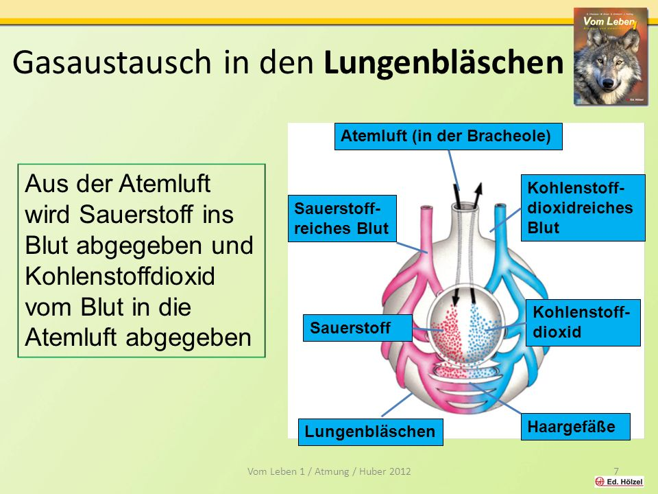 Gasaustausch in den Lungenbläschen