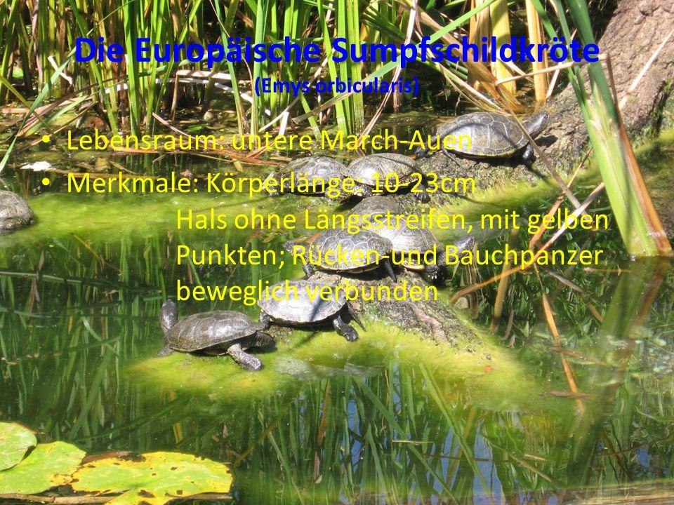 Die Europäische Sumpfschildkröte (Emys orbicularis)