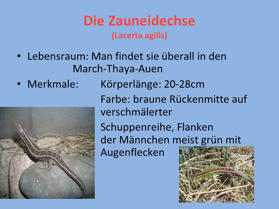 Die Zauneidechse (Lacerta agilis)