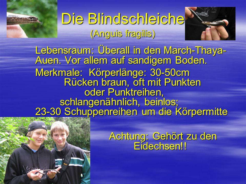 Die Blindschleiche (Anguis fragilis)