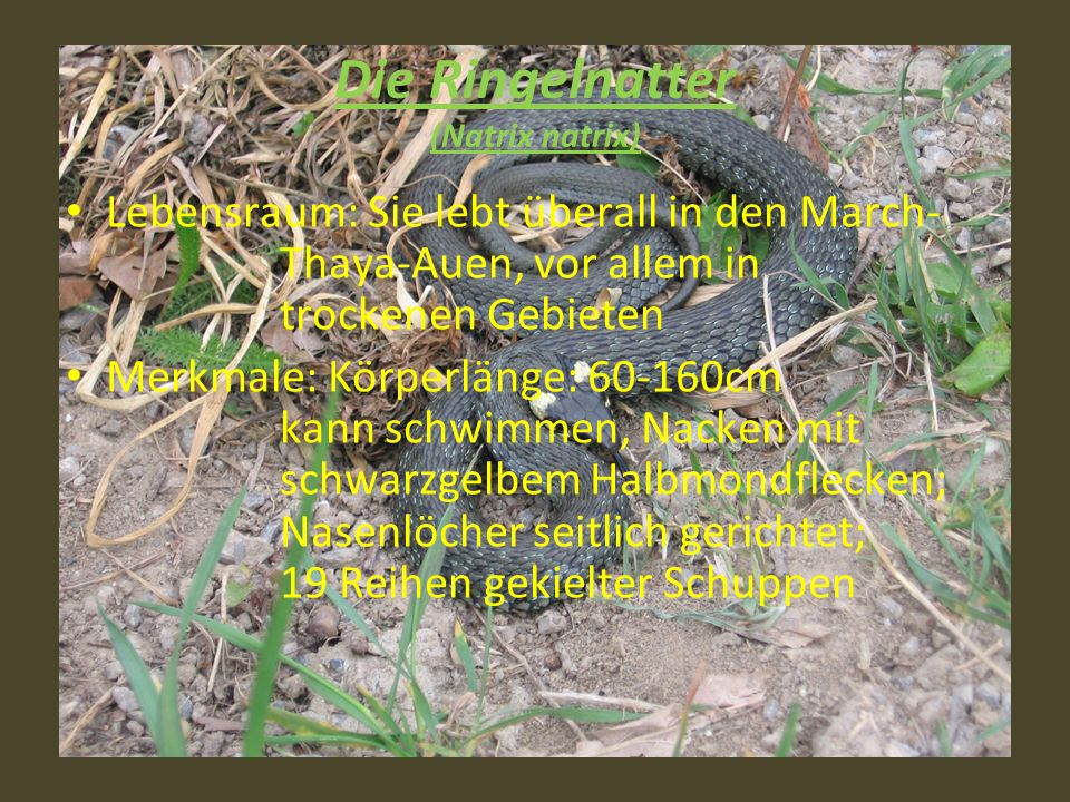 Die Ringelnatter (Natrix natrix)