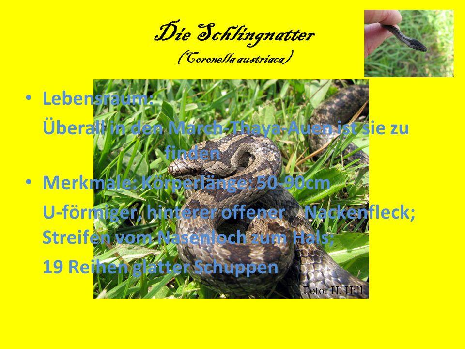 Die Schlingnatter (Coronella austriaca)