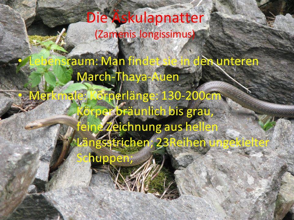 Die Äskulapnatter (Zamenis longissimus)