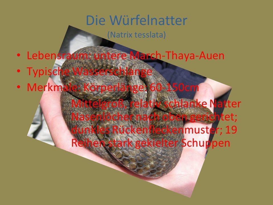 Die Würfelnatter (Natrix tesslata)