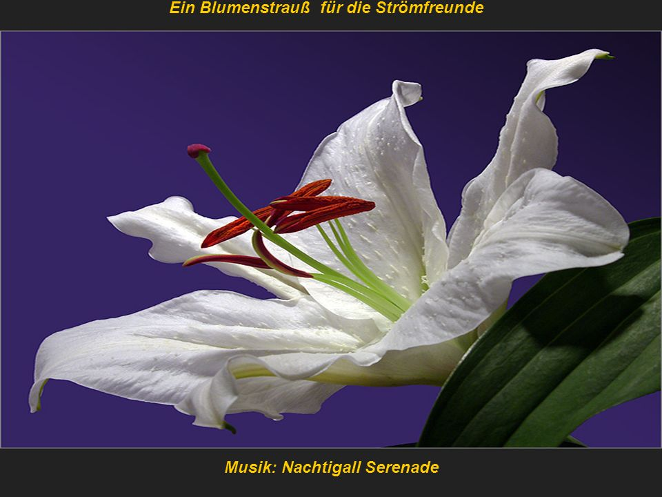 Ein Blumenstrauß für die Strömfreunde Musik: Nachtigall Serenade